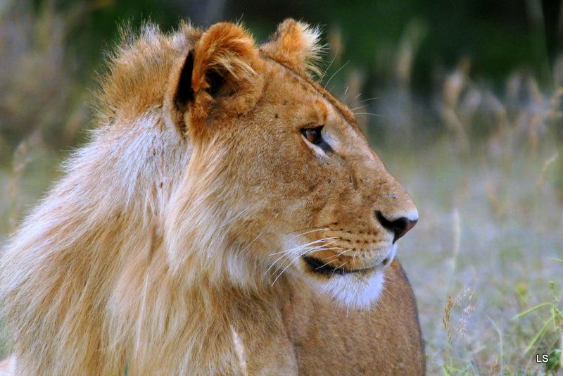 Lion (64)