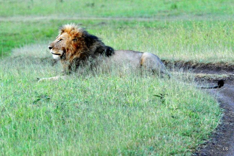 Lion (65)