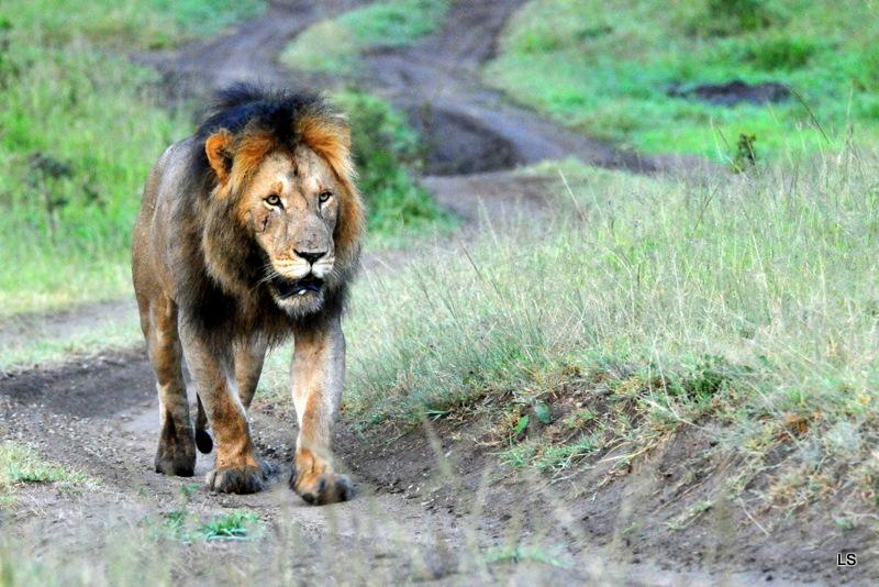 Lion (66)