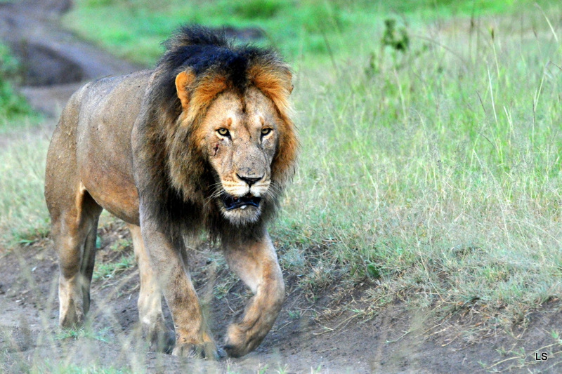 Lion (67)