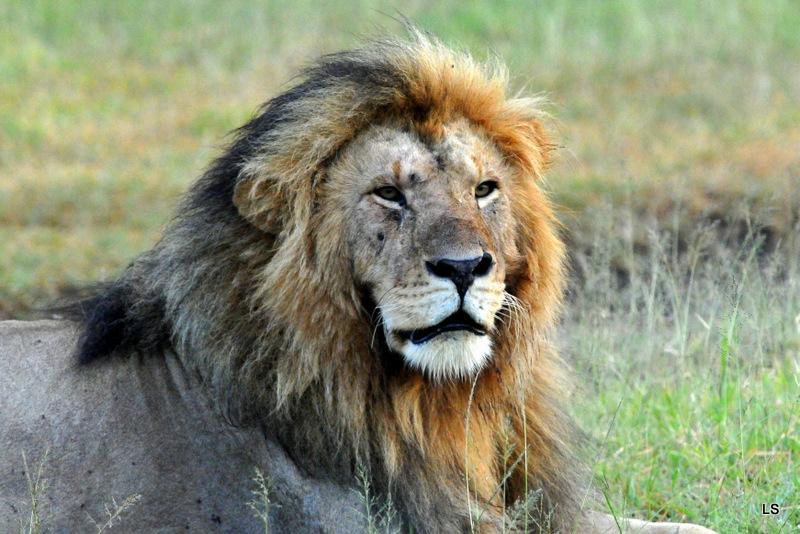 Lion (68)