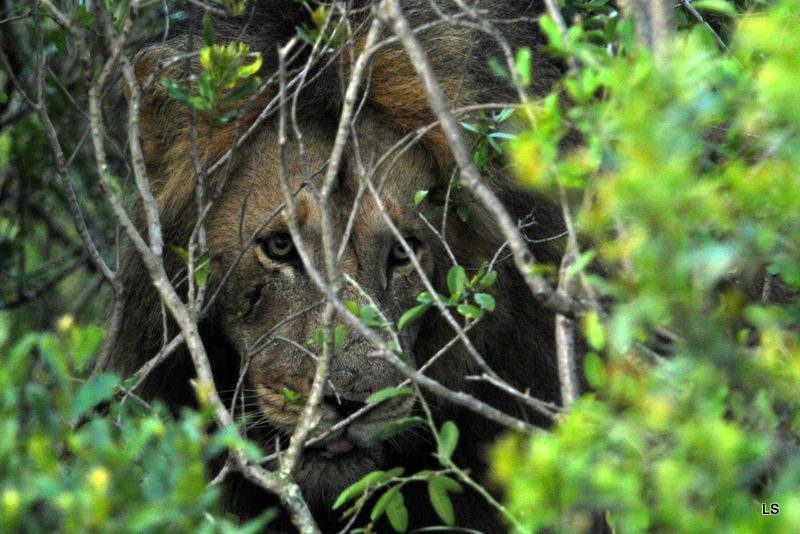 Lion (69)