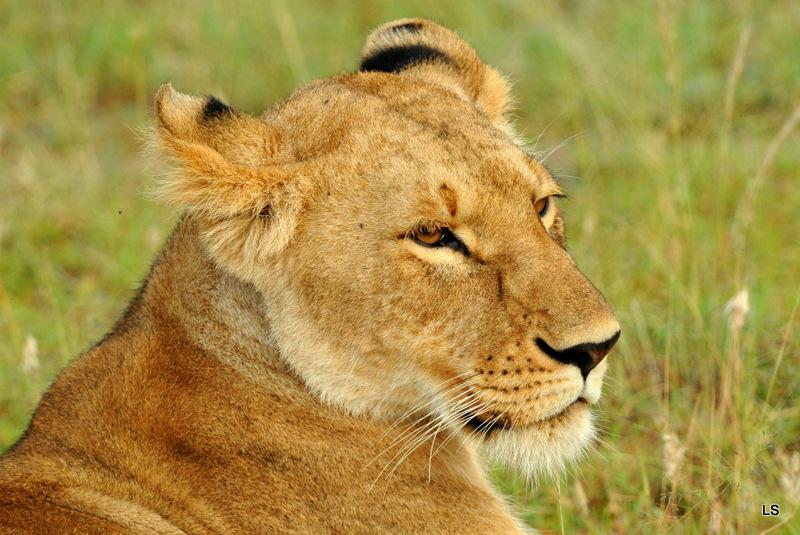 Lion (79)
