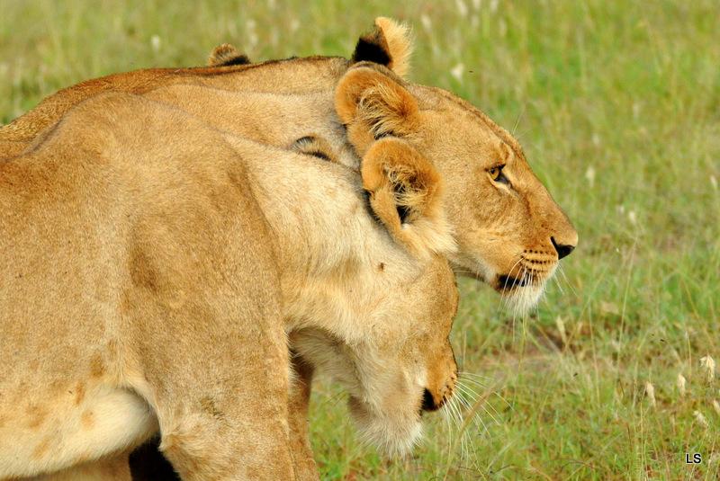 Lion (82)