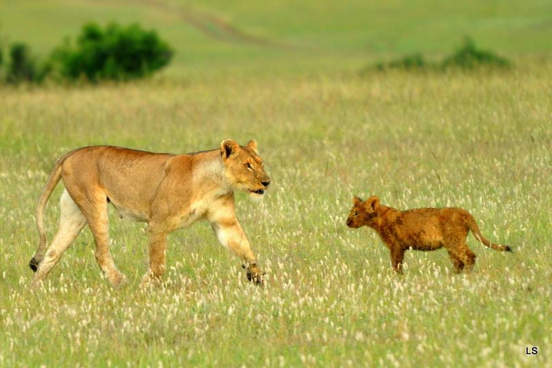 Lion (90)