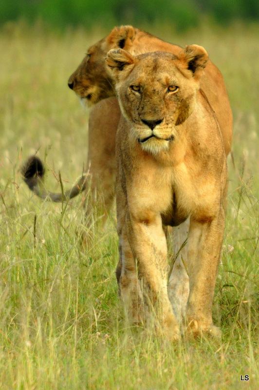 Lion (91)