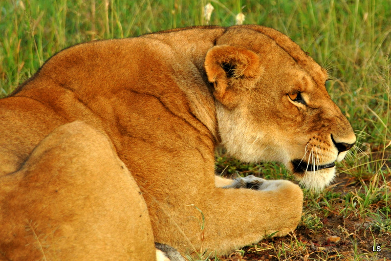 Lion (92)