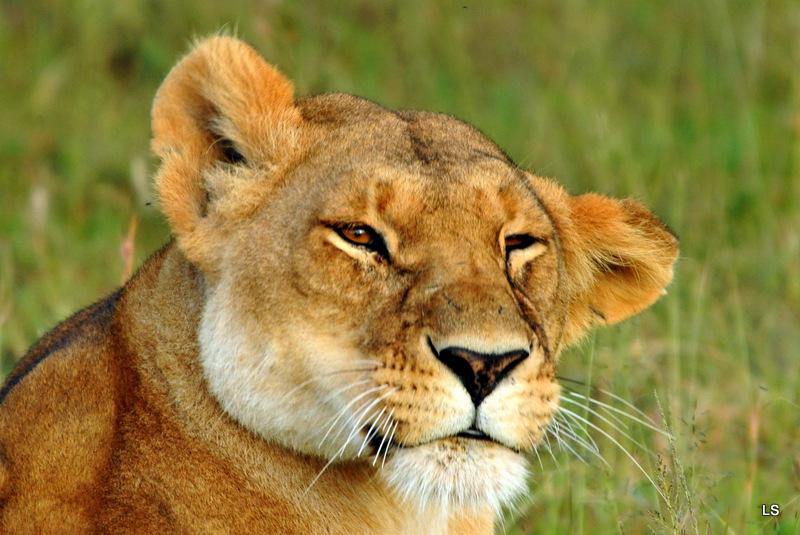 Lion (96)