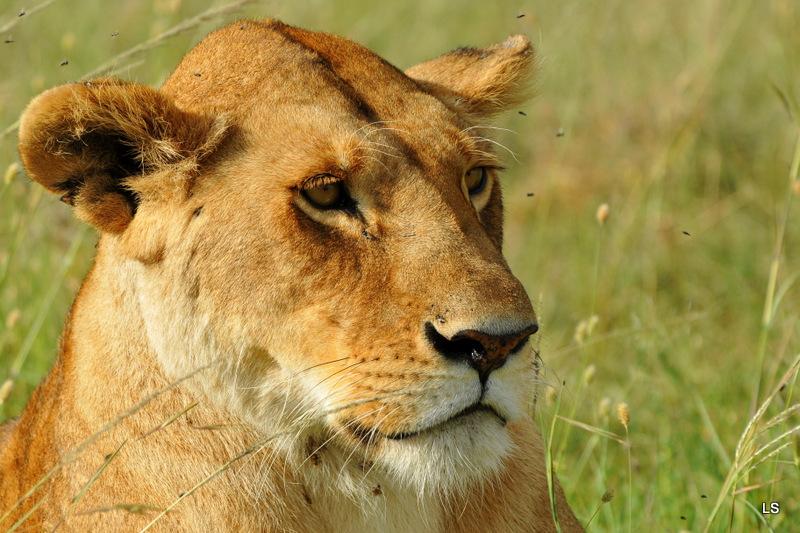Lion (6)