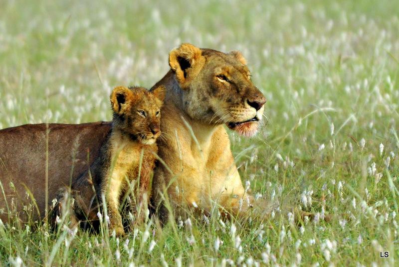 Lion (100)