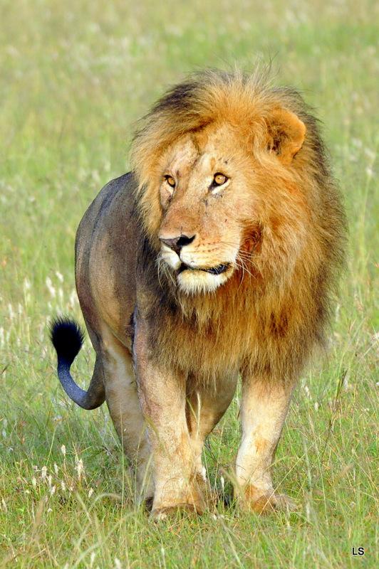 Lion (102)