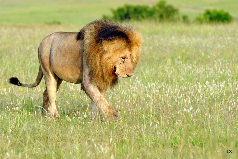 Lion (103)
