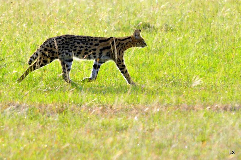 Serval/Serval Cat (1)