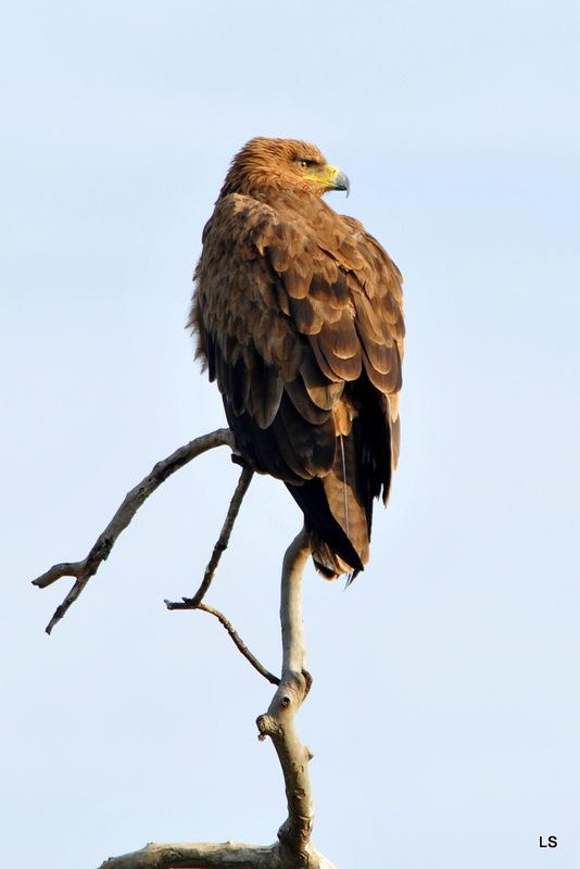 Aigle ravisseur/Tawny Eagle (4)