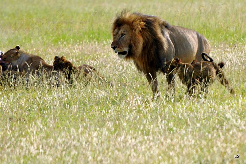 Lion (105)