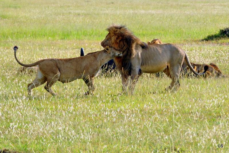 Lion (106)