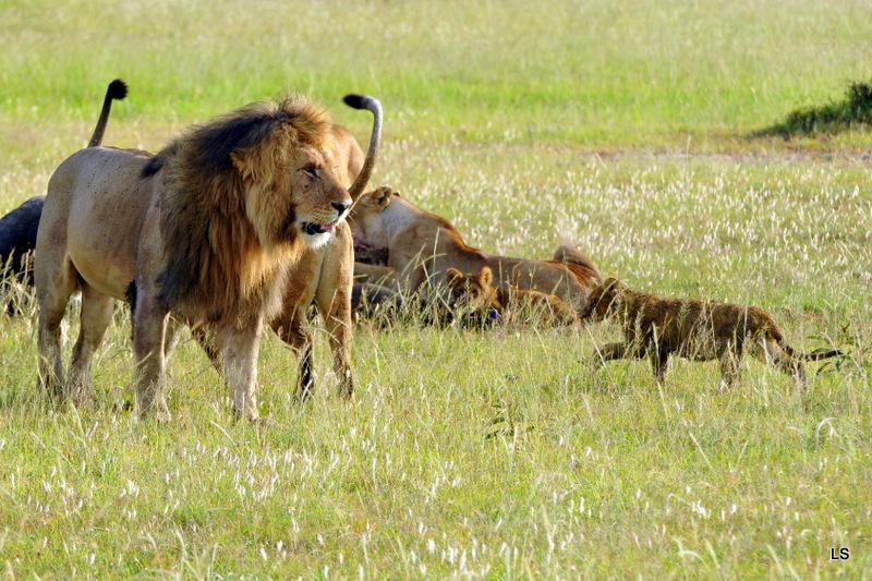 Lion (107)