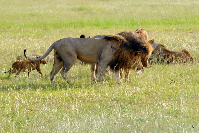 Lion (108)