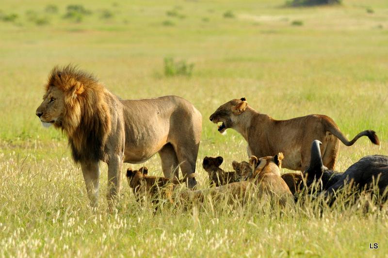 Lion (111)