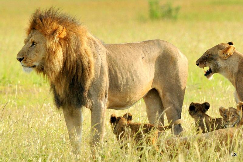 Lion (110)