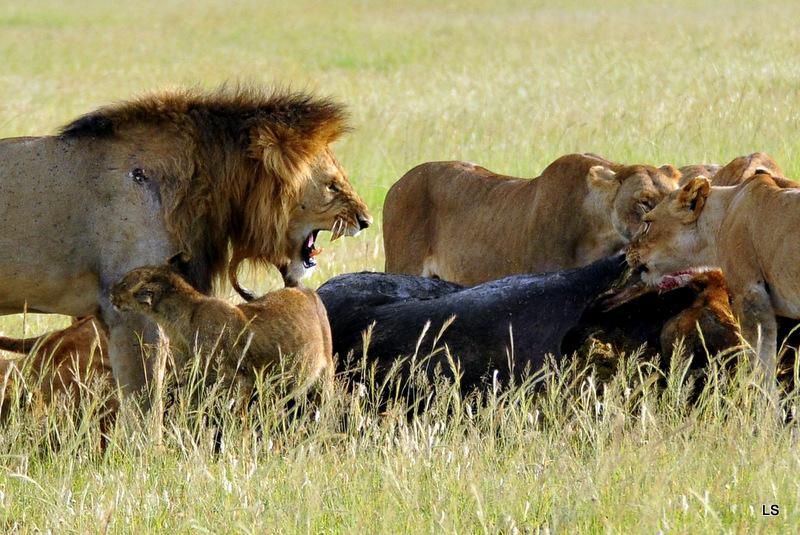 Lion (112)