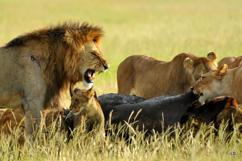 Lion (114)
