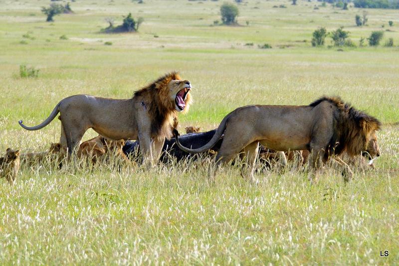 Lion (115)