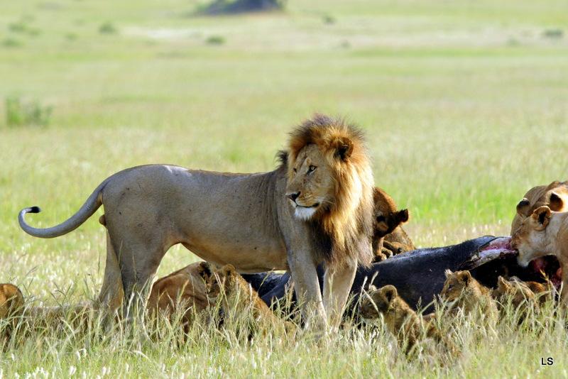 Lion (116)