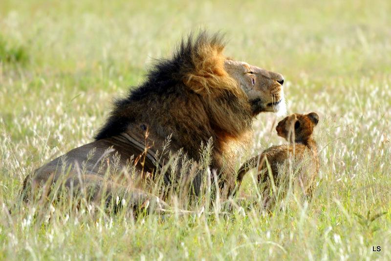 Lion (117)