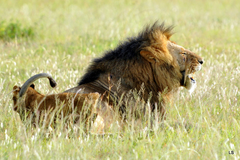 Lion (118)