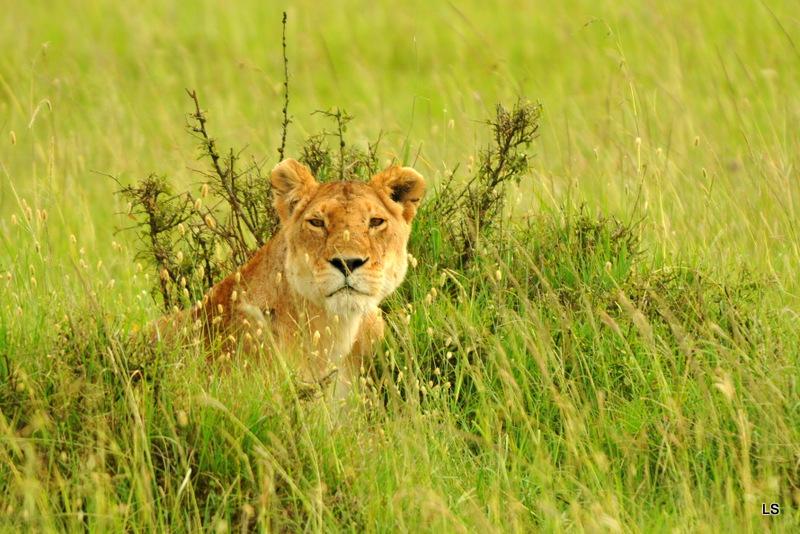 Lion (122)