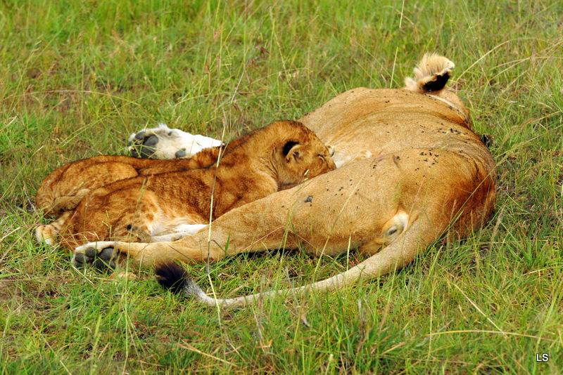 Lion (124)