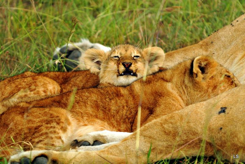 Lion (127)