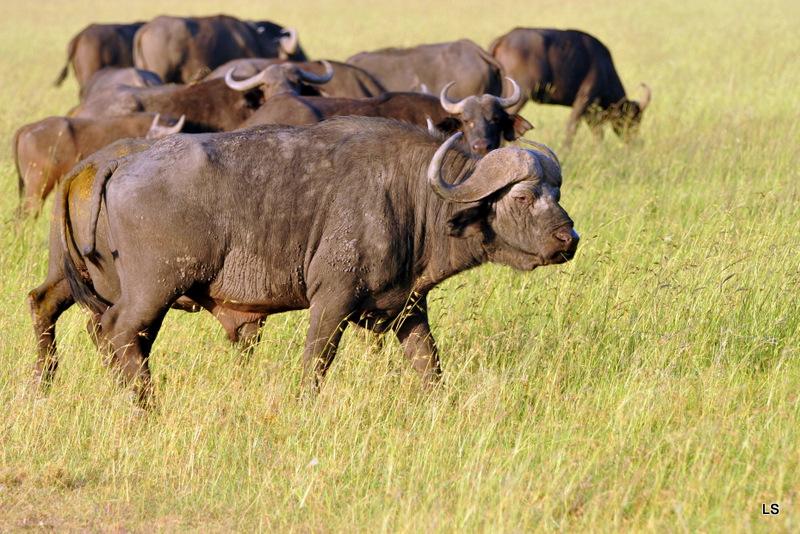 Buffle du Cap/Cape Buffalo (7)