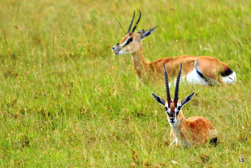 Gazelle de Thomson (2)