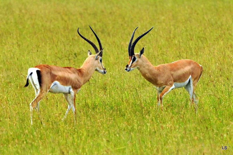 Gazelle de Thomson (3)