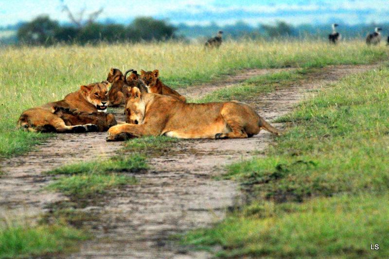 Lion (131)
