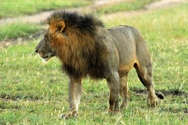 Lion (136)