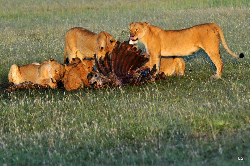 Lion (142)