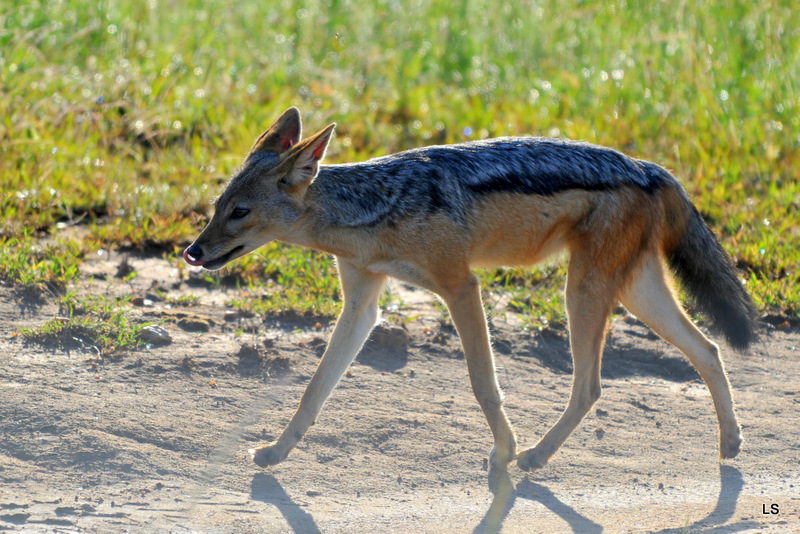 Chacal à chabraque/Black-backed Jackal (4)