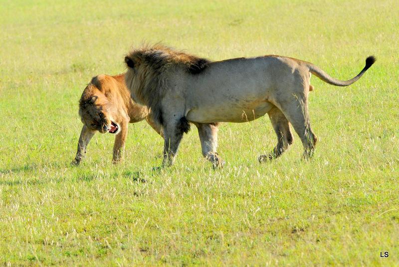 Lion (143)
