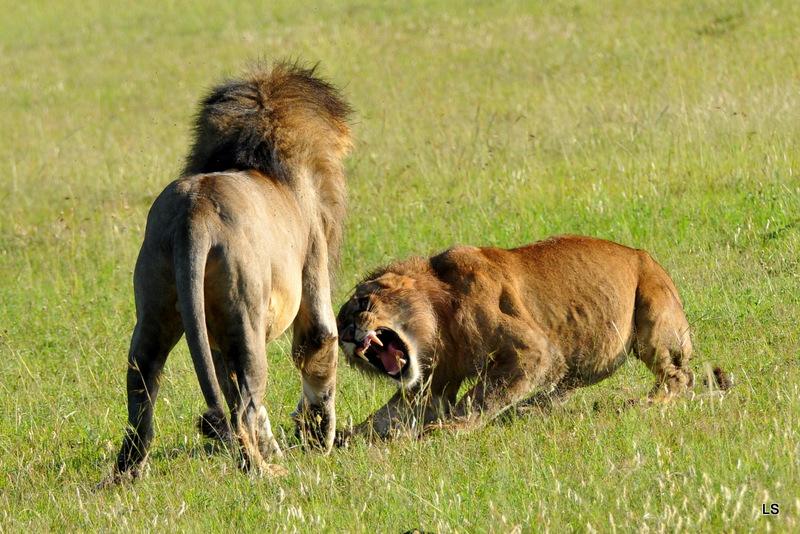 Lion (144)