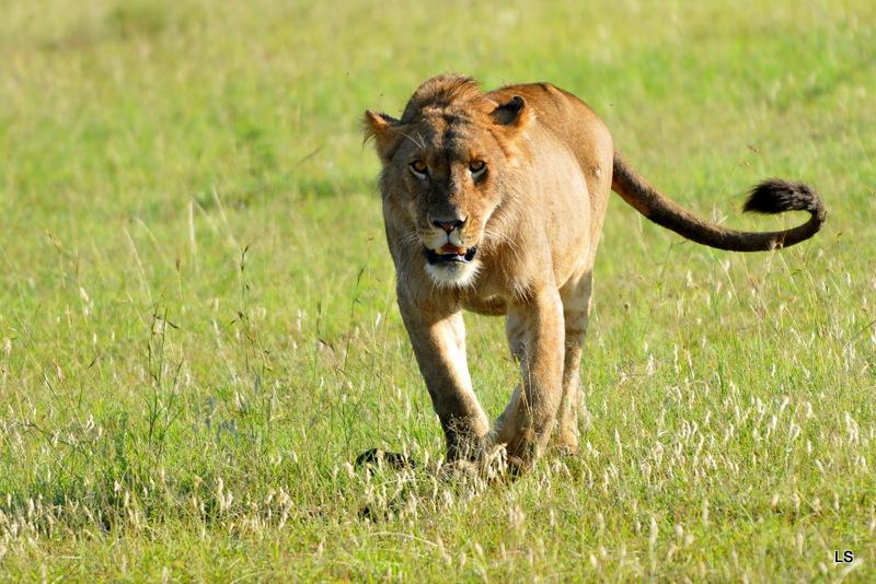 Lion (145)