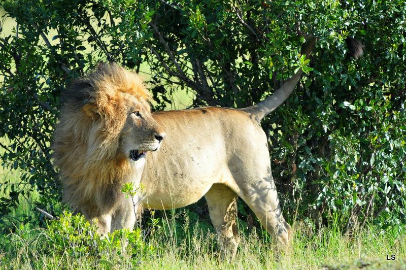 Lion (146)