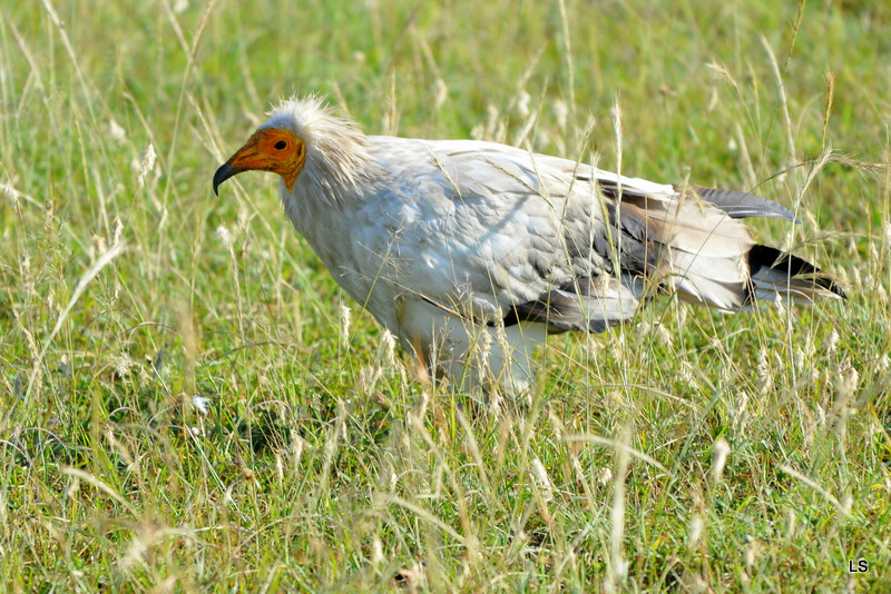 Percnoptère/Egyptian Vulture (1)