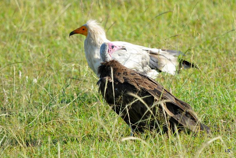 Percnoptère et vautour charognard (1)