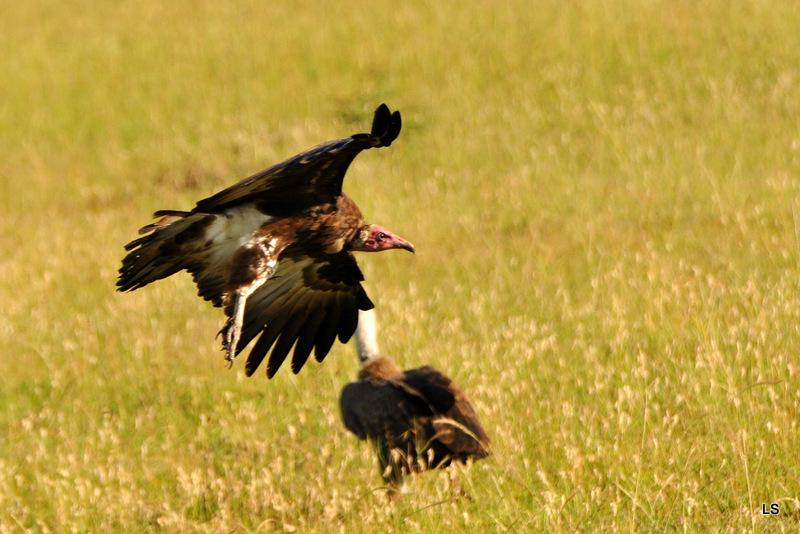 Vautour charognard/Hooded Vulture (1)