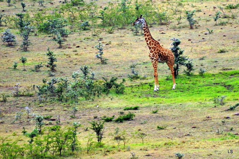 Girafe/Giraffe (2)