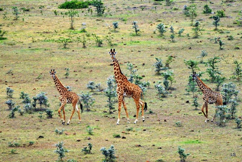 Girafe/Giraffe (4)