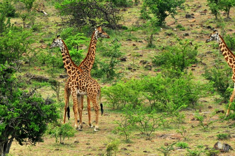 Girafe/Giraffe (6)